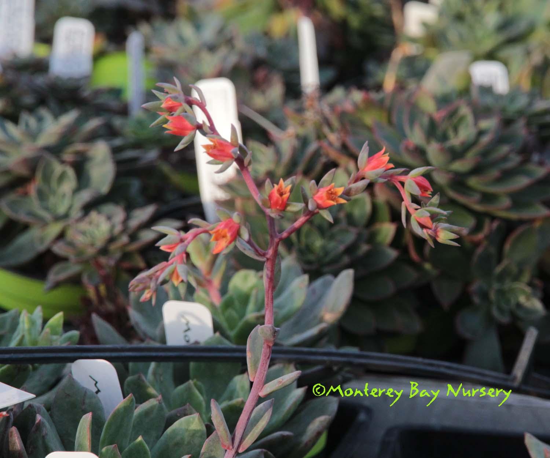 Euphorbia Purpurea Plug Plants x 6 Containers//Borders 6 Plug Plants Sent